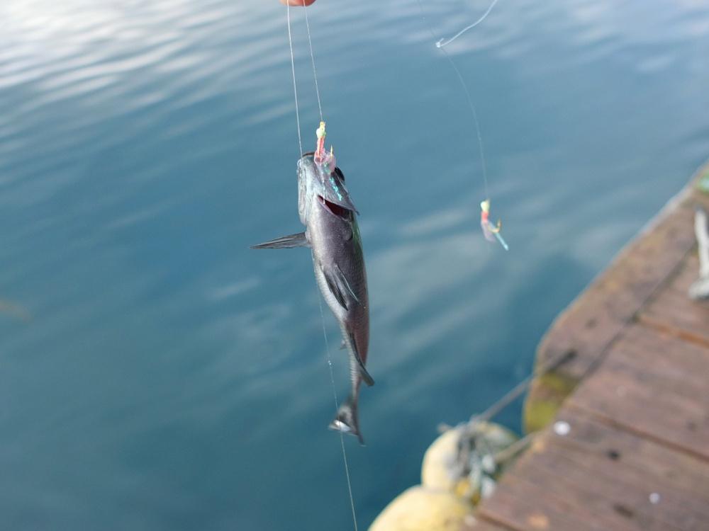 サビキ釣りで一網打尽