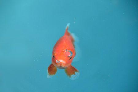 金魚すくいの金魚はトリートメントをしっかりと