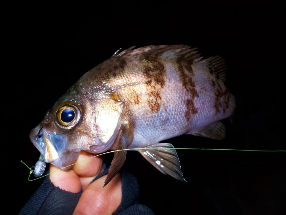 メバルをルアーで釣るメバリングが人気!
