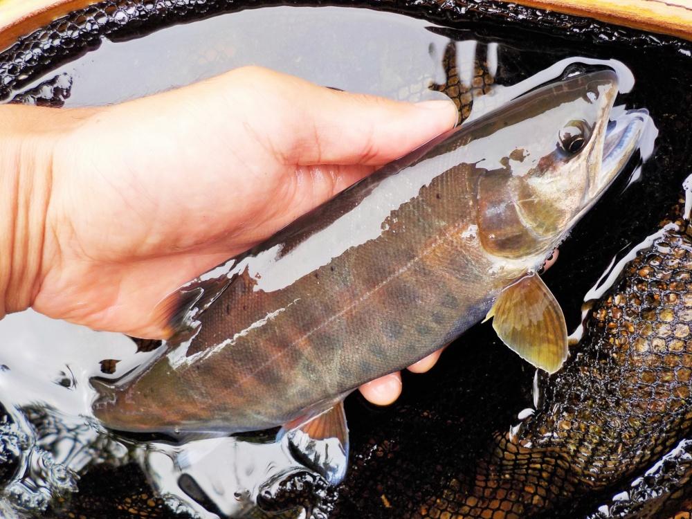 鱒レンジャーは管釣り、渓流、海でも使える!