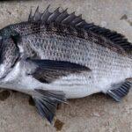 クロダイをルアーで釣る方法