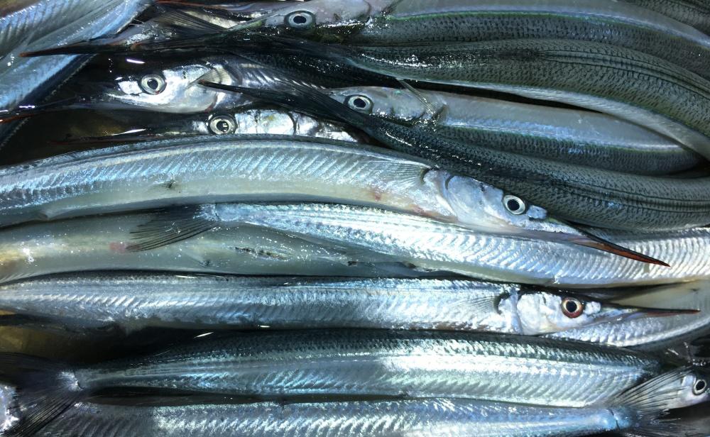 サヨリは隠れた大衆魚!