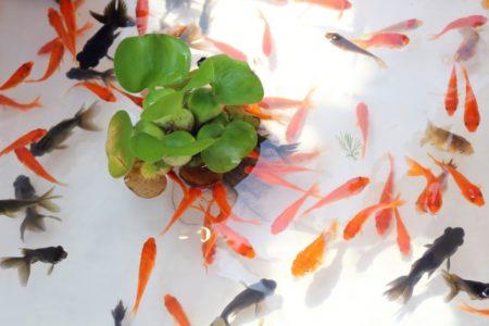 ホテイアオイと金魚・メダカは相性がよい