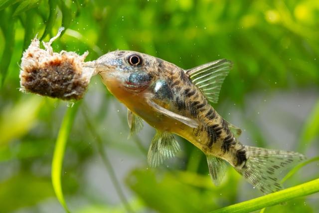 水槽ヒーターは熱帯魚には必須!