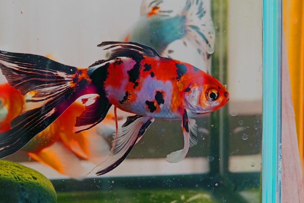 金魚の餌を与える量