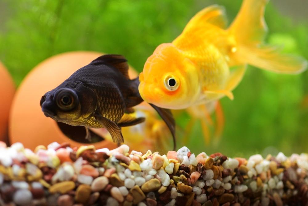 金魚餌の選び方