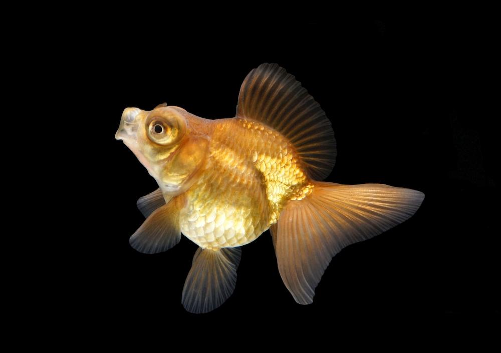 金魚の餌ってどんなのがいいの?