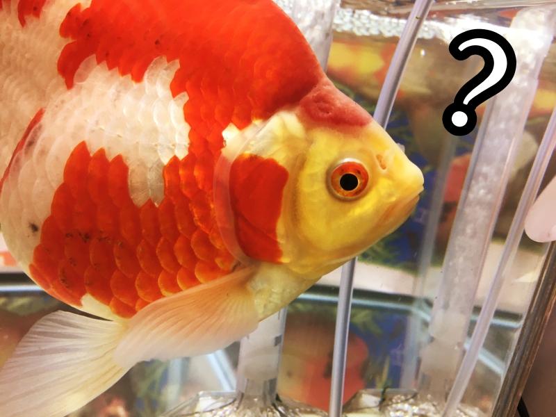 金魚の餌の量は少なめが基本