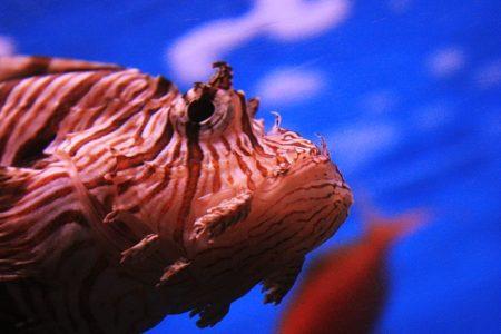 ミノカサゴは綺麗だけど危険!