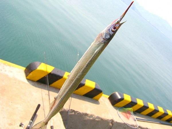 サヨリ釣りを楽しもう!