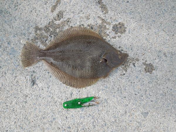カレイ釣りでは何カレイが釣れる?