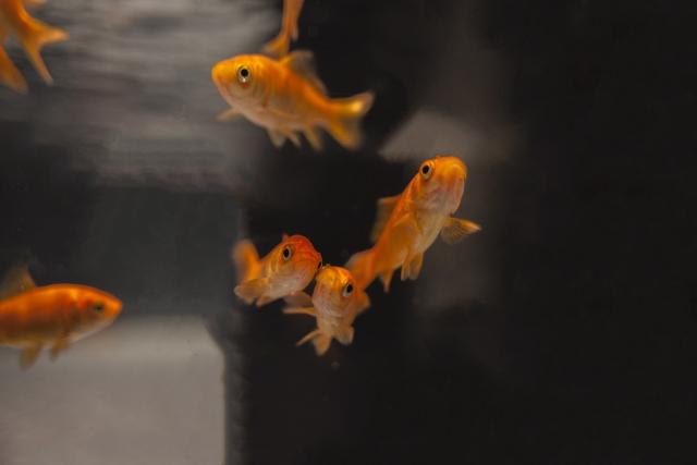 和金は金魚の定番