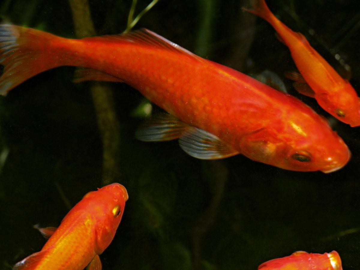 小赤は最大で30cm以上になる