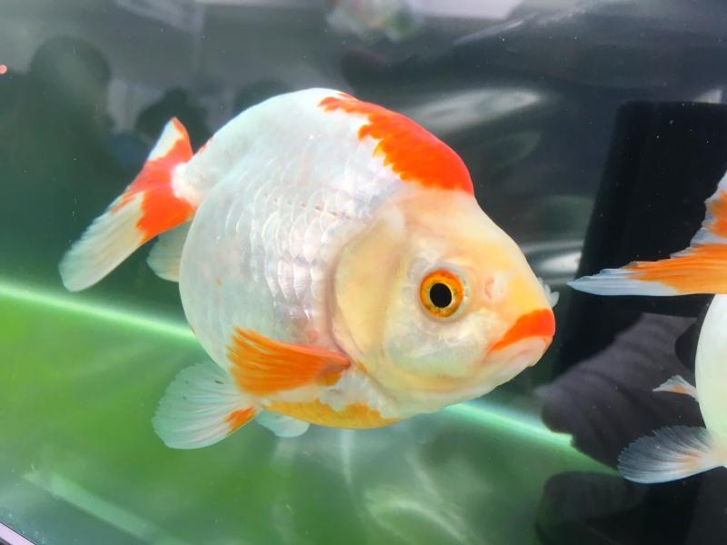 金魚は種類が豊富