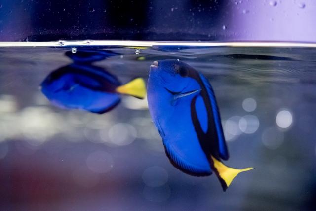 ナンヨウハギの混泳