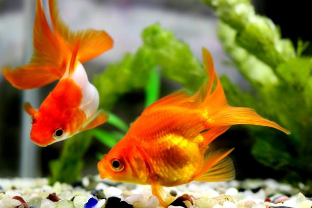 金魚飼育の相性