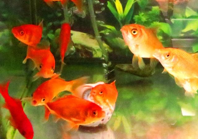 金魚の飼育密度は?