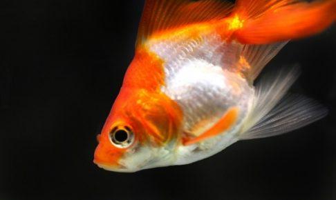 金魚の病気の治療法は?