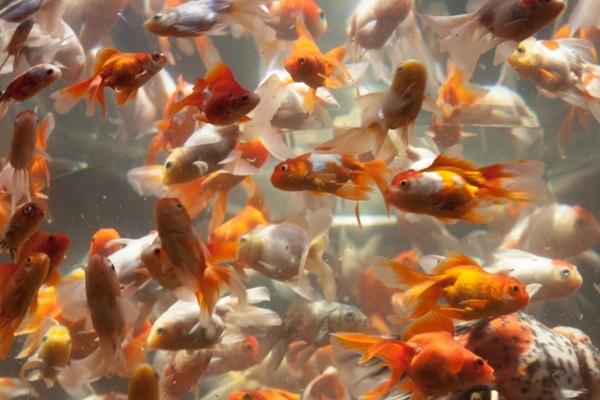 金魚の病気の原因は?