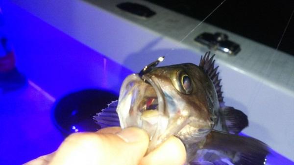 メバルはエサ釣りも楽しい!