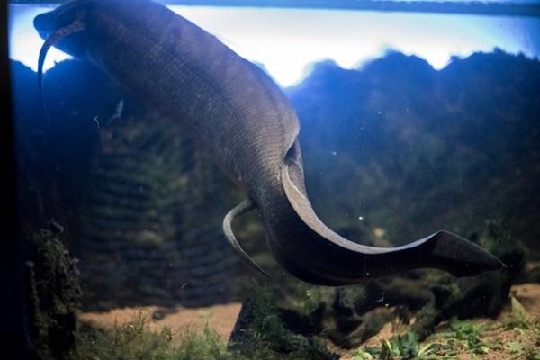 肺魚の飼育法とは?