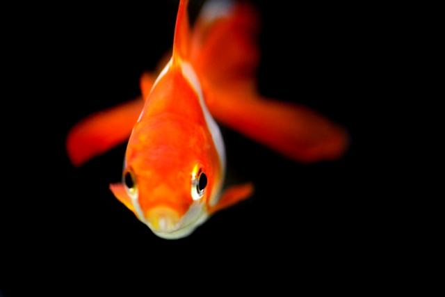 どんぶり金魚に適した種類