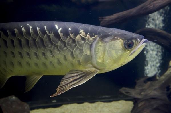 アロワナってどんな魚?