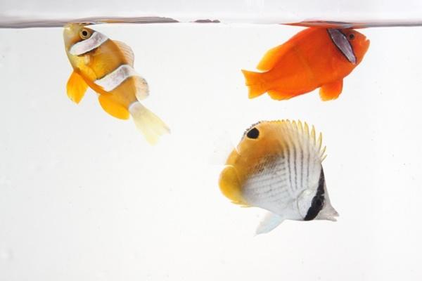 クマノミと混泳できる魚種は?