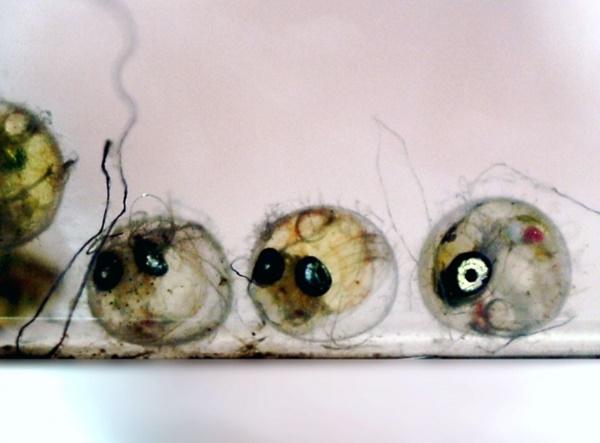 メダカの卵の孵化率・生存率を上げるコツ