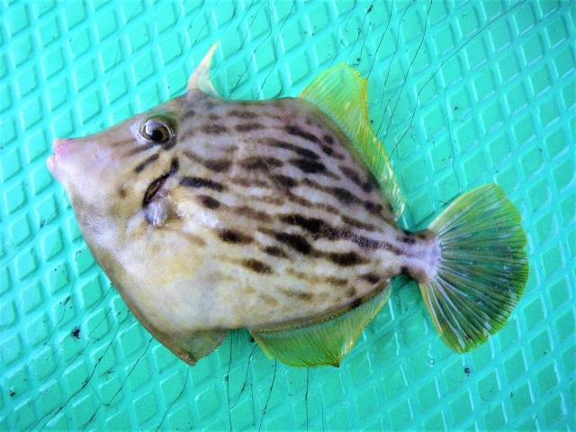カワハギってどんな魚?
