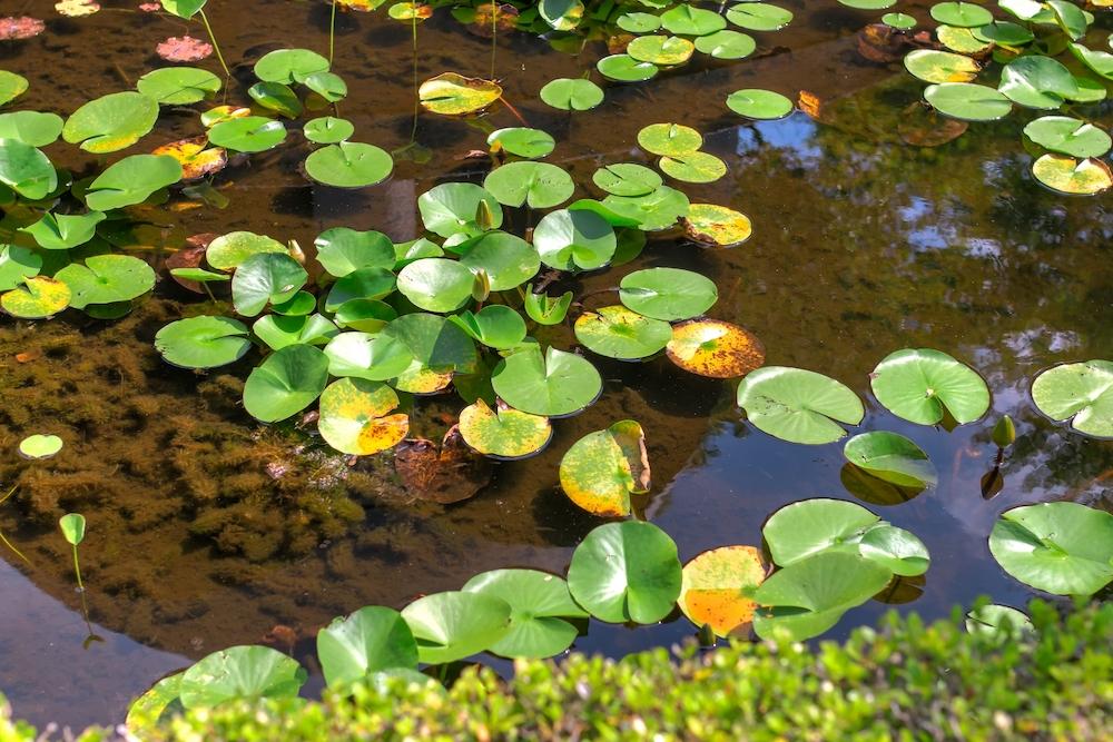 メダカの排泄物が水草の栄養分になる