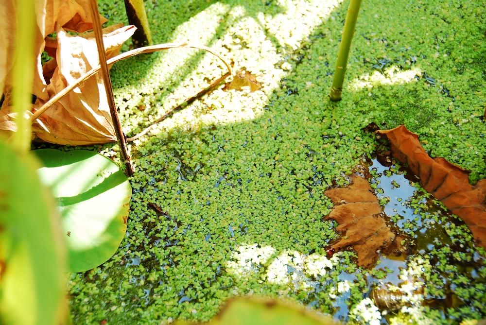 メダカはミジンコウキクサという水草を食べる