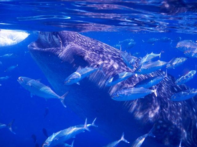 ジンベエザメに会えるツアー