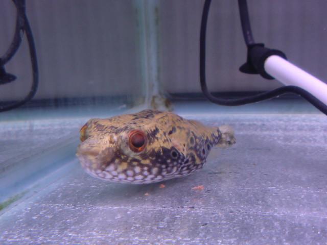 淡水フグの餌について