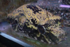 淡水フグの特徴