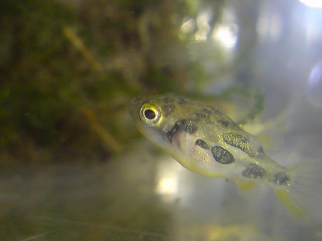 淡水フグの代表種はアベニーパファー