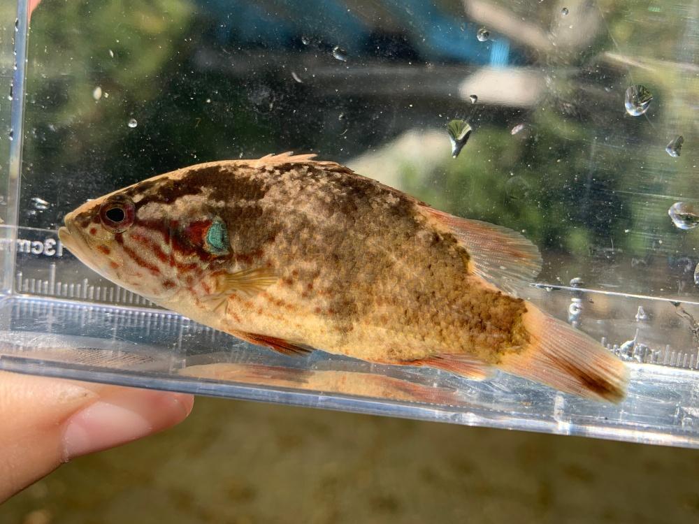 オヤニラミってどんな魚?