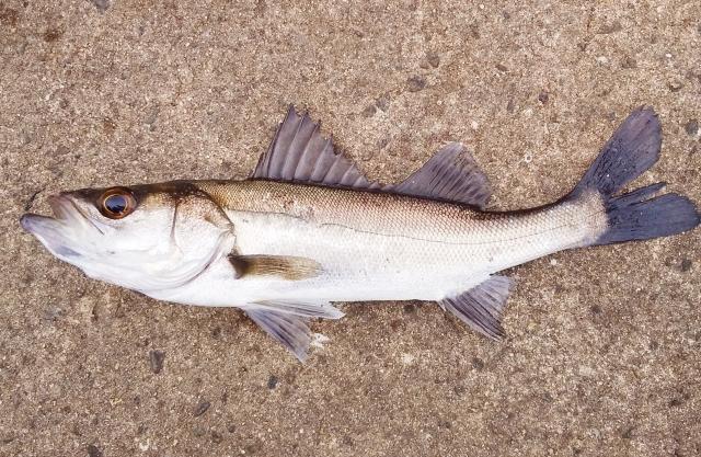 ジグパラブレードで狙える魚は?