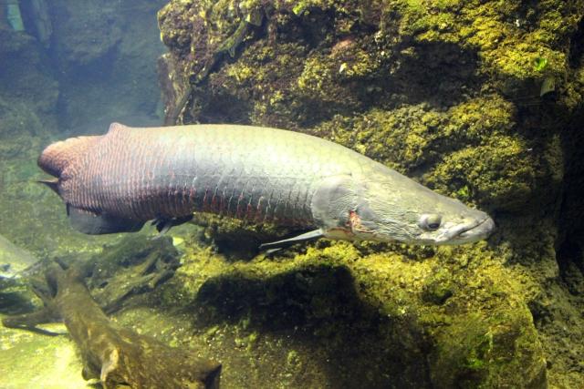 ピラルクーが見れる水族館
