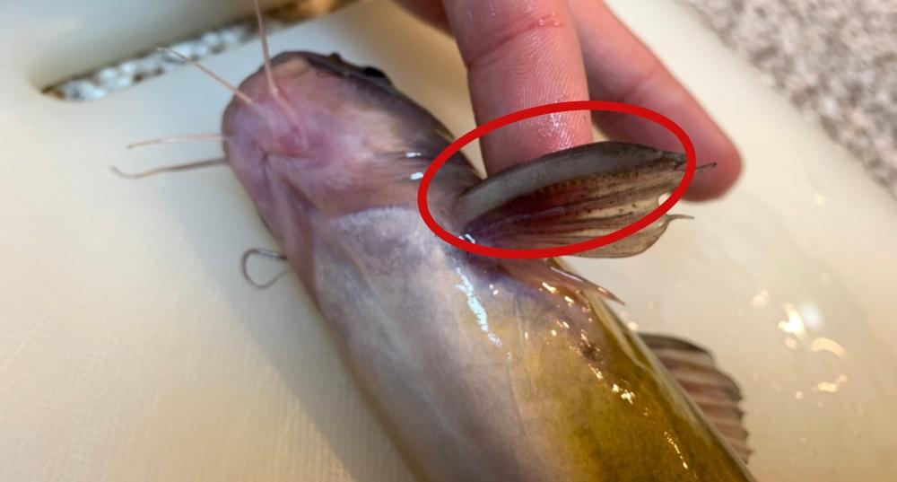 ギギは胸鰭の棘を擦り合わせて音を鳴らす