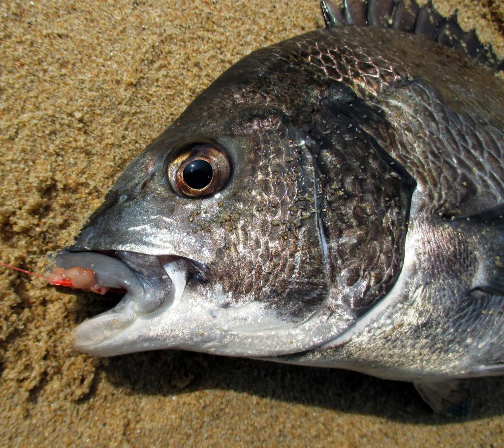 クロダイの釣り