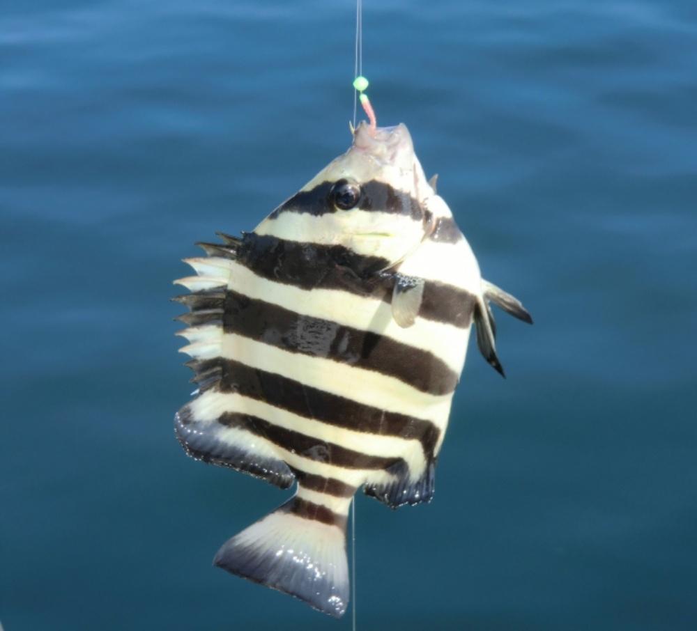 イシダイの釣り方