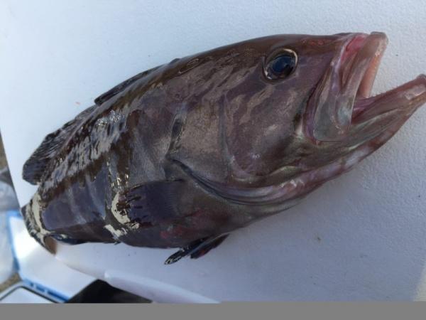 マハタは美味しい高級魚