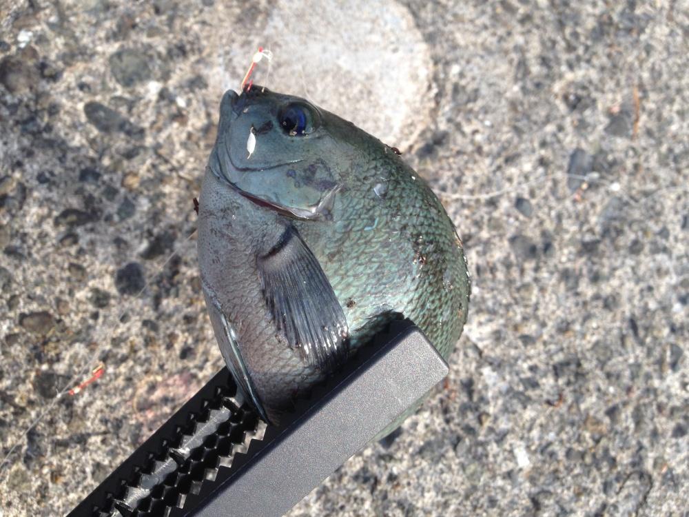 メジナってどんな魚?
