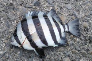 石鯛釣りに必要な道具ややり方とは?