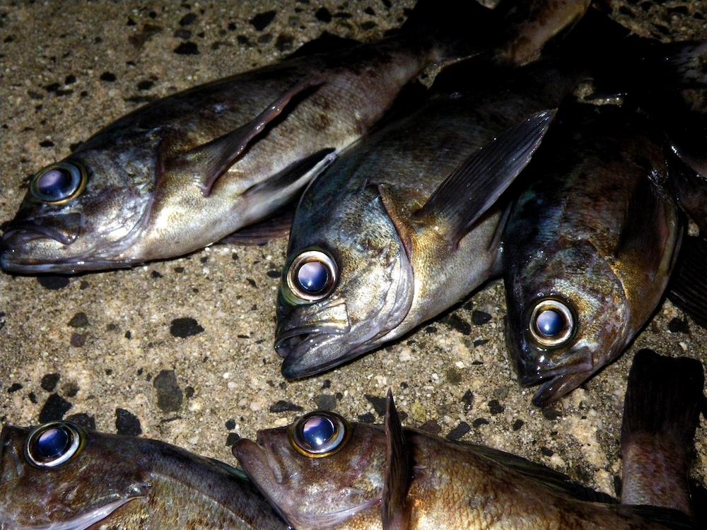 メバルも夜釣りで狙える