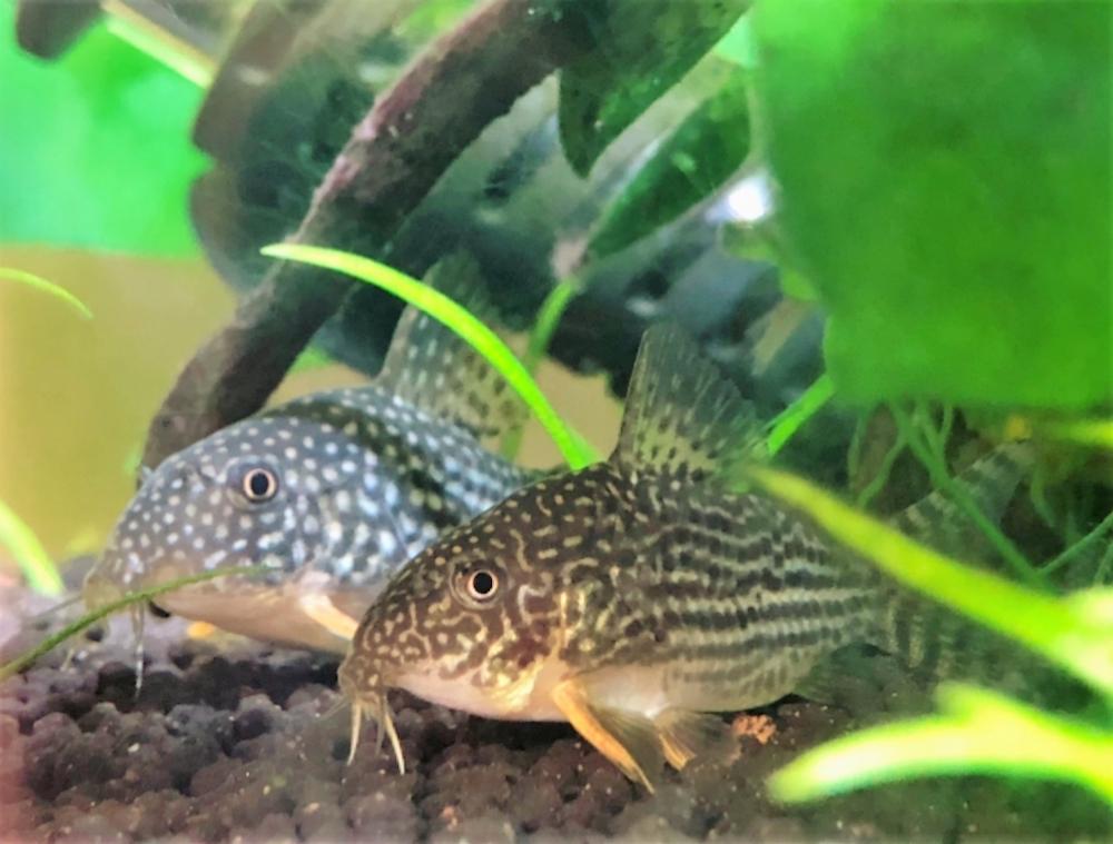 メダカは意外と熱帯魚と混泳できる!