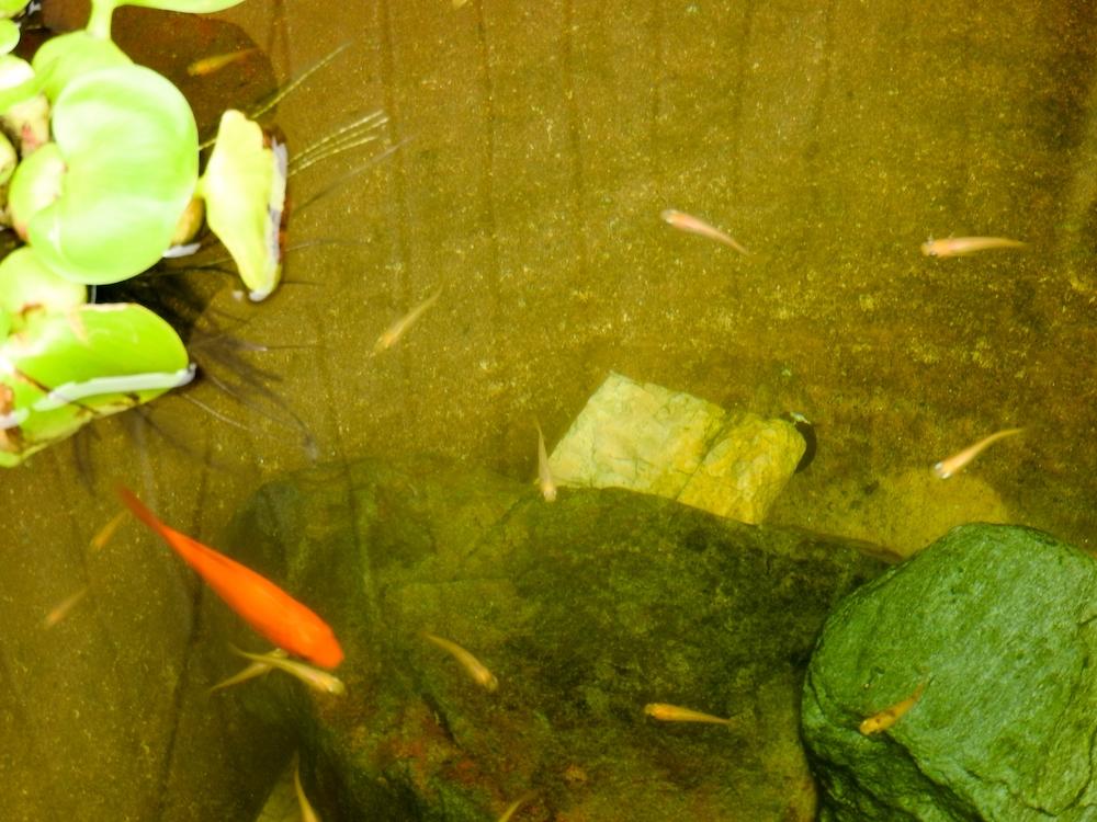 メダカと金魚の混泳は可能?