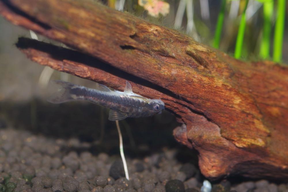 オトシンクルスの繁殖を楽しむ