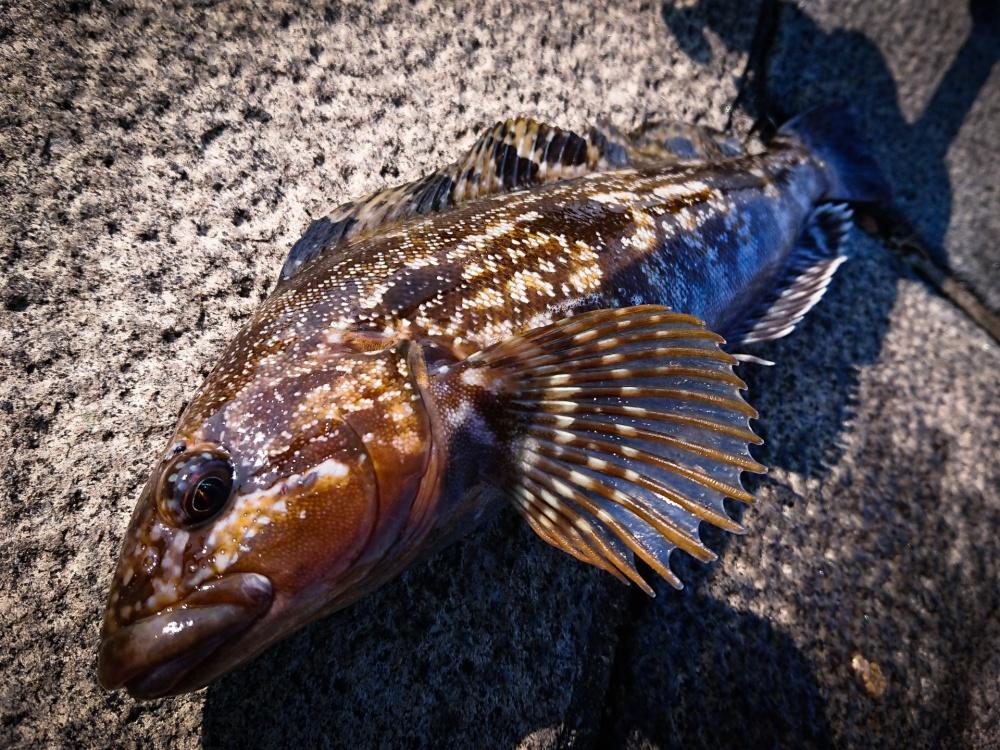 アイナメ釣りで釣果を伸ばすコツとは